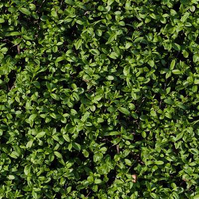 Seamless tileable hedge grass texture