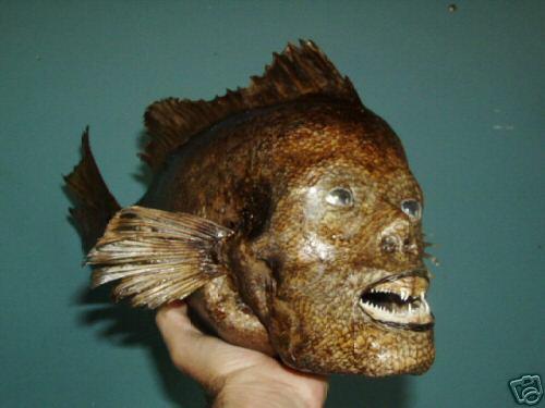 Ebl sheep 39 s head fish creepy human teeth for Salt fish head