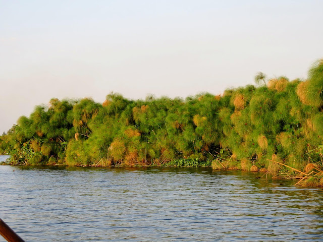 Papyrus on the edge of Lake Victoria in Entebbe, Uganda