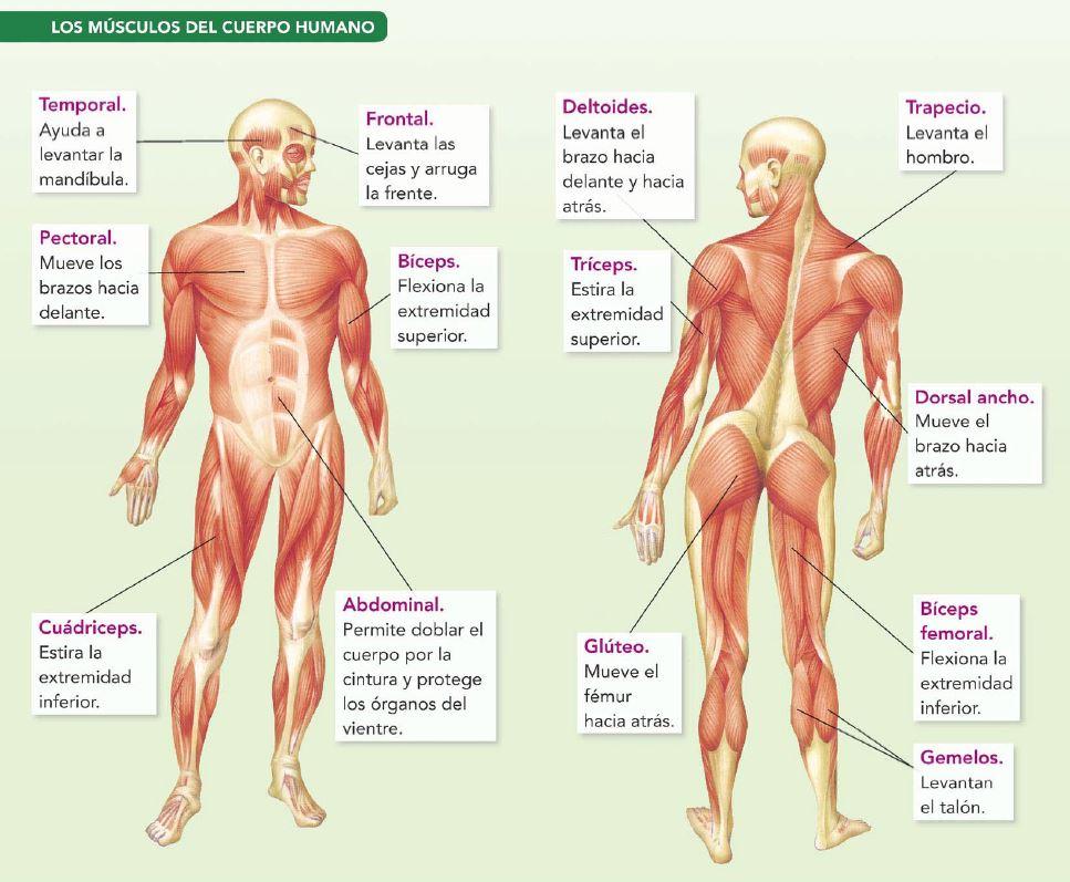 Magnífico Completo Diagrama De Músculo Del Cuerpo Humano Composición ...