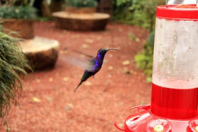 Colibri en Los Jardines de las Cataratas de la Paz