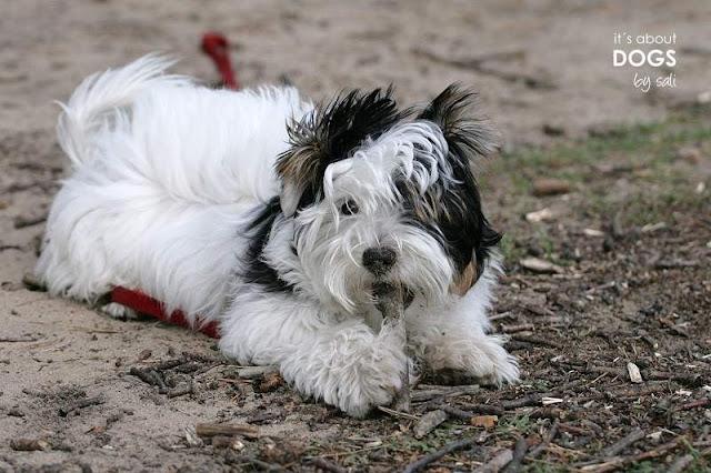 Biewer Yorkshire Terrier Lotta