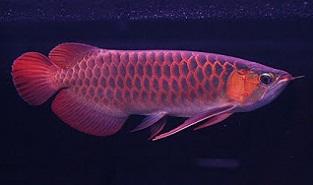 cara budidaya ikan hias cupang