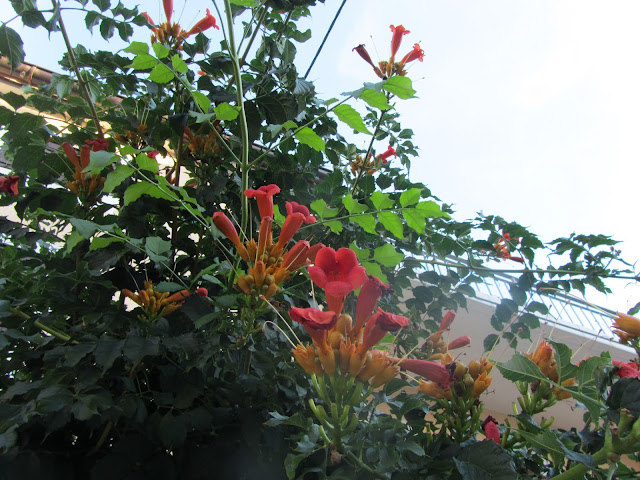 Fioritura Bignonia radicans