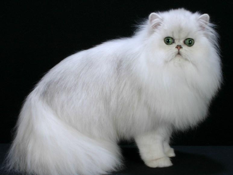 Download 80+  Gambar Kucing Anggora Dan Kucing Persia Paling Bagus Gratis
