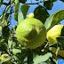 Cara menghilangkan jerawat alami dengan jeruk nipis