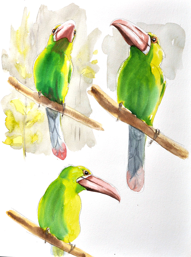 toucanet à croupion rouge, aquarelle