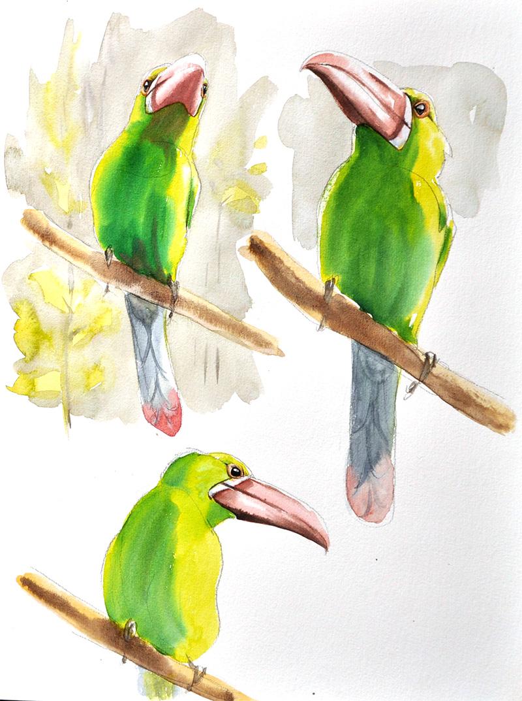 toucanet à croupion rouge, aquarelle