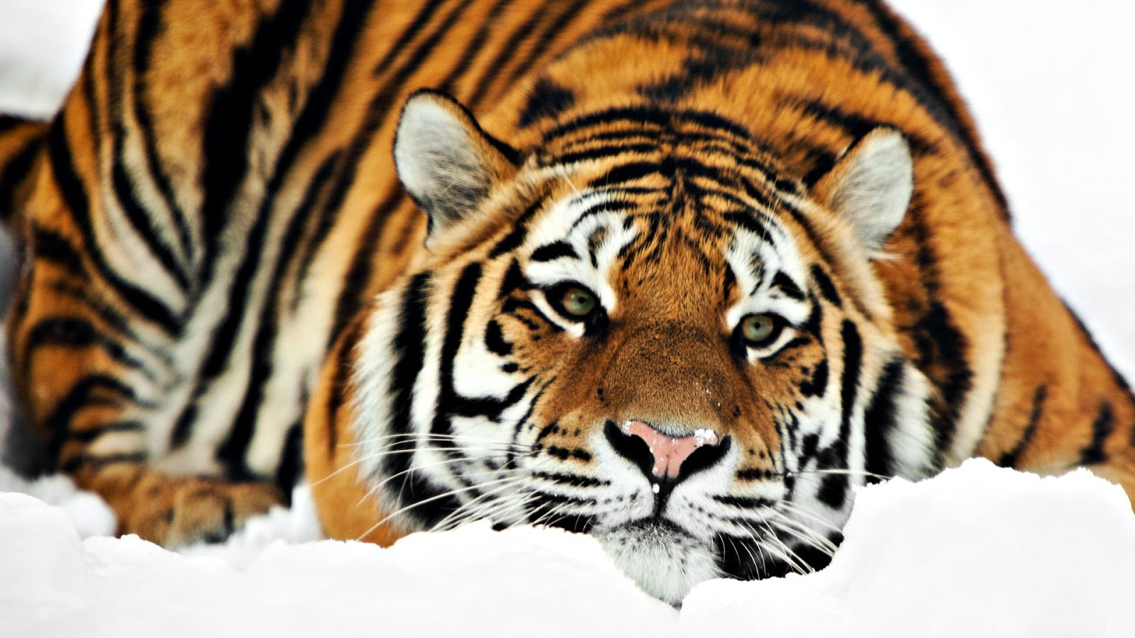 sedih-harimau-serbia-sakit-gigi-dan-minta-pertolongan-warga