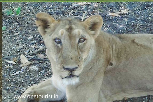lion safari , silwassa , dadra and nagar haweli