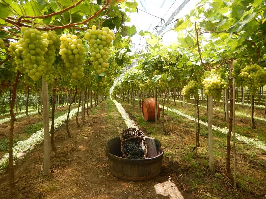 Vindima no Vale dos Vinhedos: Pisa das Uvas