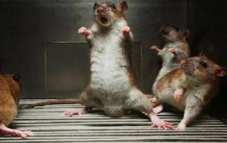 Cara Membikin Perangkap Lalat Dengan cara Sederhana Dengan Lem Tikus Di Rumah