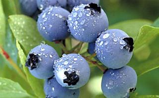 blueberry yabanmersini