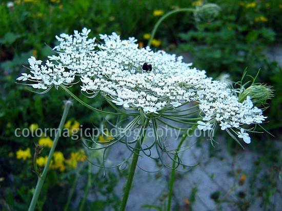 drooping, narrow bracts of Daucus carota-Queen Anne's lace
