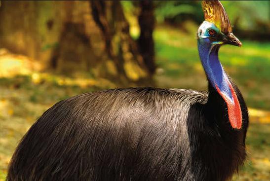 Burung Kasowari Atau Cassowary Bird Burung Paling Berbahaya Di Dunia