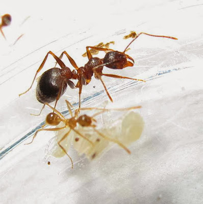 The median and minor workers of this rare Pheidole species with pupae (of minor and median workers) and a larva