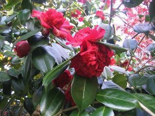 庭に咲く椿