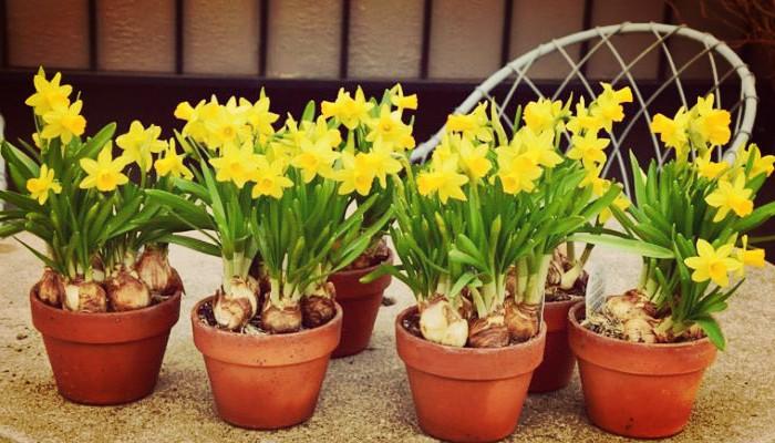 Planta narcisos enanos