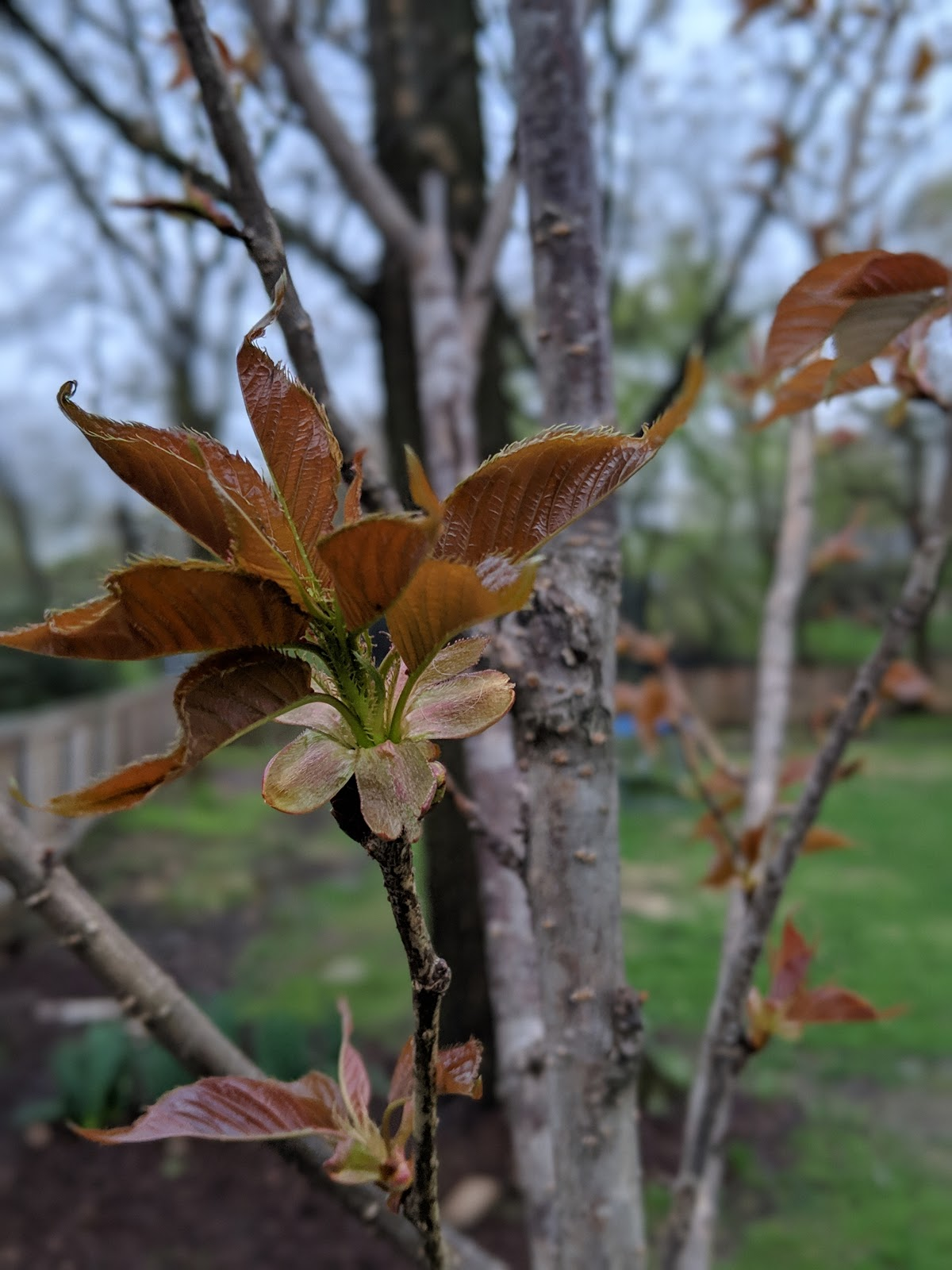 Pre Blossom Kwanzan Cherry Tree 2019