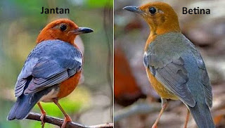 cara membedakan jenis kelamin burung anis merah jantan dan betina