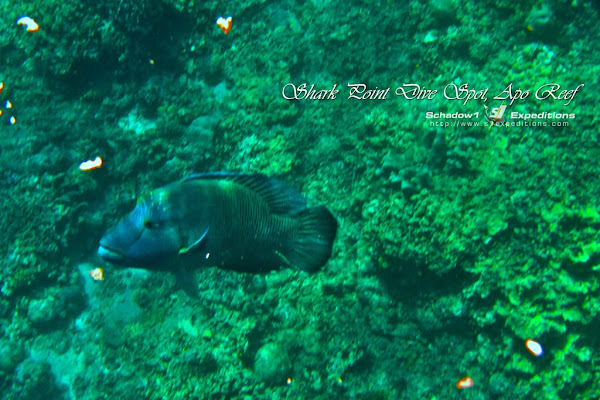 Apo Reef Shark Airport Dive Point - Napoleon Wrasse - Schadow1 Expeditions