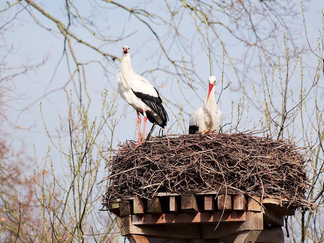 Storchenpaar am Rande des Ochsenmoores (Naturschutzstation)