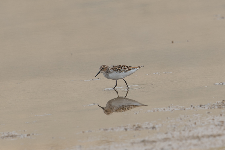 Passage and Breeding Waders – Jubail