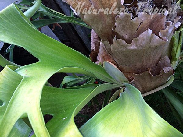 Vista de las hojas aéreas y de base de un Platycerium