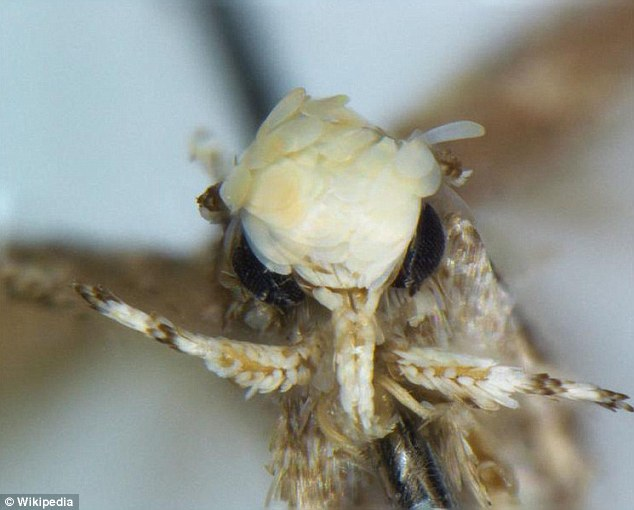 Biologists name the newly discovered Yellow haired  moth Neopalpa Donald trumpi in honour of U.S President Donald Trump
