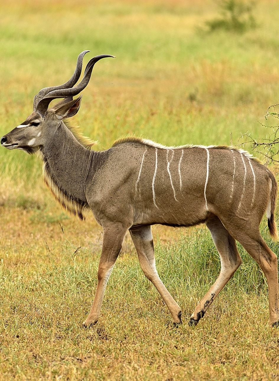 Picture of a kudu in it's territory.