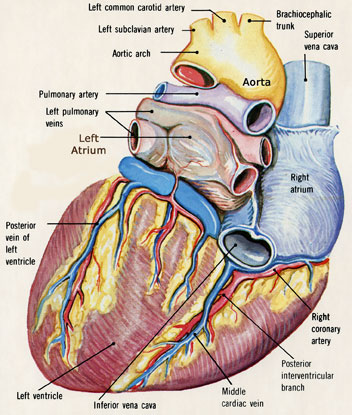 Posterior Heart Diagram Labeled