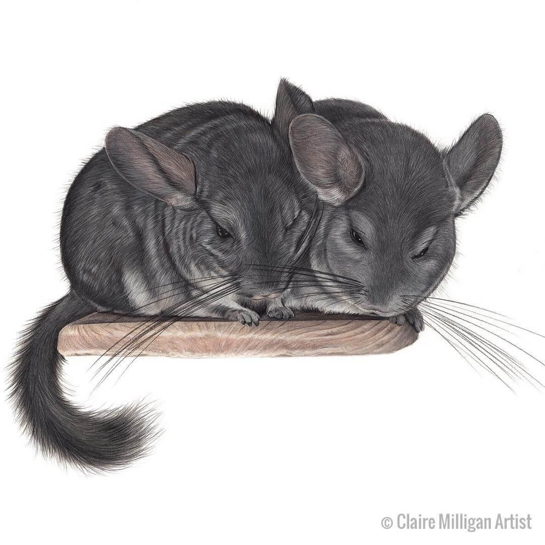 03-Chinchillas-Krümel-and-Crêpe-Claire-Milligan-Realistic-Color-Pencil-Animal-Portraits-www-designstack-co