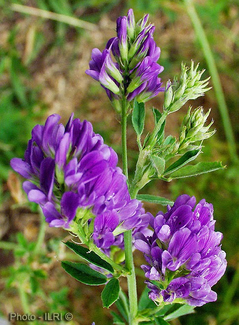 Lucerne Plant Its Properties And Medicinal Uses Healthy