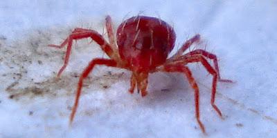 ωφέλιμα έντομα-Phytoseiulus