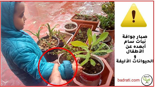 صبار جوافة، ايفوربيا الحليب  Euphorbia umbellata