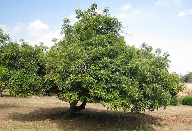 http://tipspetani.blogspot.com/2017/04/cara-pembibitan-pohon-alpukat-untuk.html
