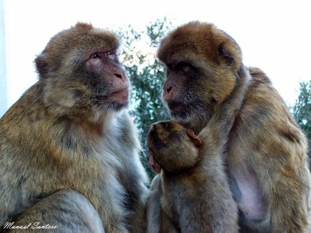 Gibilterra, scimmie catarrine
