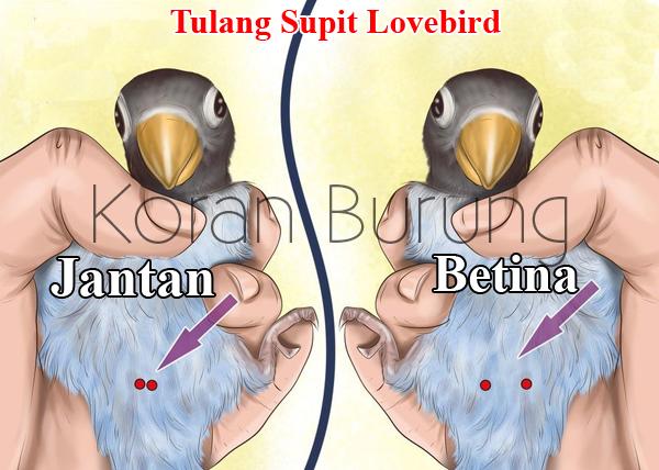 cara paling tepat membedakan jenis kelamin lovebird anakan