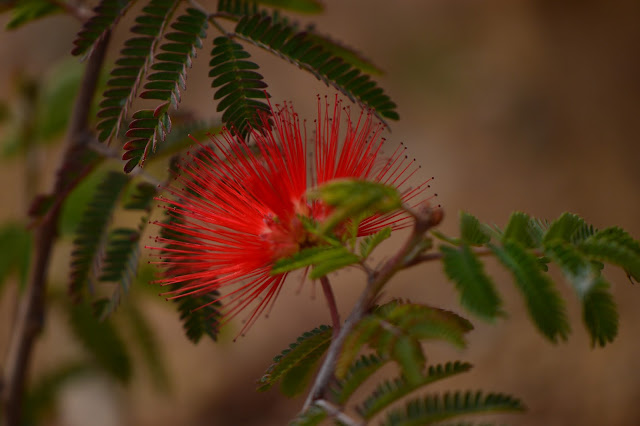 calliandra californica, baja fairy duster, small sunny garden, desert garden, amy myers, photography, about the garden,