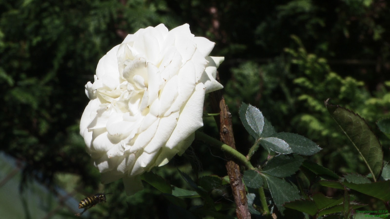 Rose - The Queen of flowers