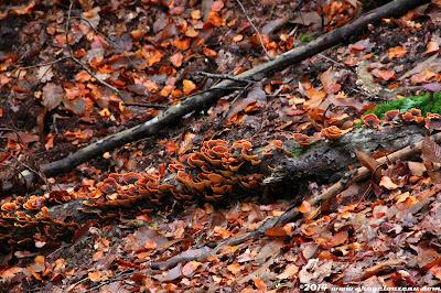 polypore versicolore sur hêtre, Forêt de Fontainebleau, (C)2014 Greg Clouzeau