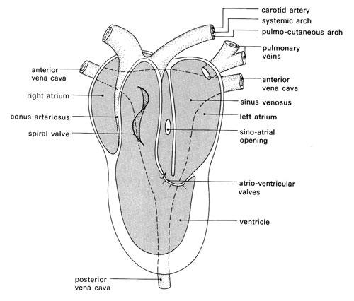 knowledge class evolution of vertebrate heart � amphibians