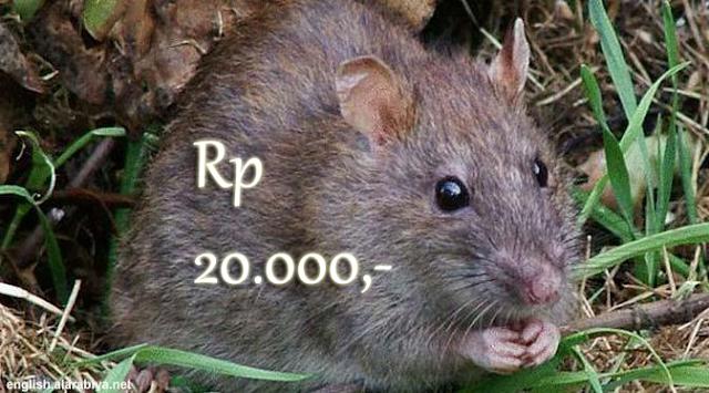 Pemprov DKI Tawarkan Warga Tangkap Tikus dan Akan Dibeli Rp 20.000,-/ekor. Simak Mekanismenya!