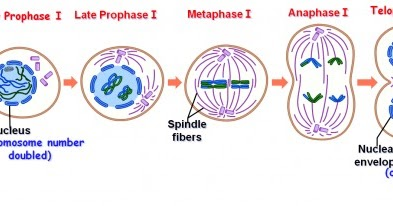 Major Differences Difference Between Meiosis I And Meiosis Ii