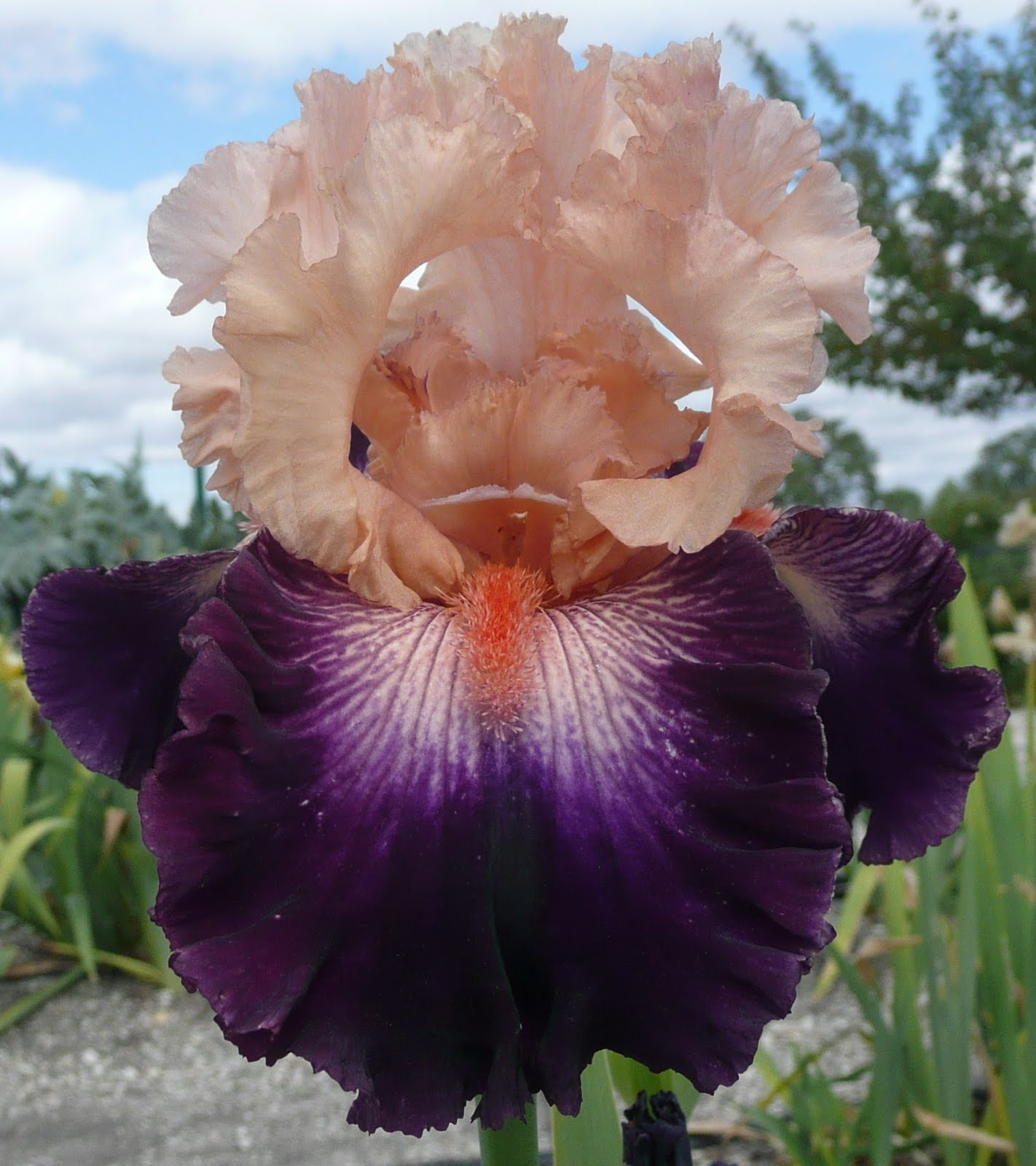 TB Iris germanica 'High Emotion' (Painter, 2007 ...