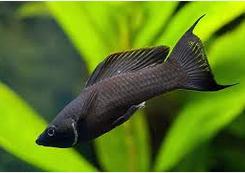 Cara Budidayanya Ikan Black Molly