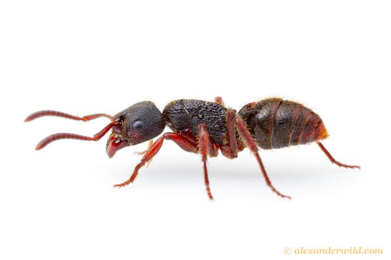 efek sing obat kuat africa black ant semut hitam