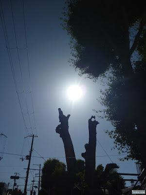 太陽と駒つなぎの樟