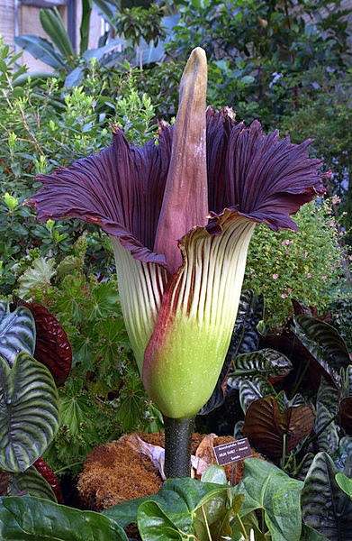 Image showing the flower of titan arum