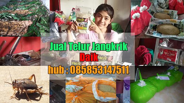 Jual Telur Jangkrik Daik Hubungi 085853147511